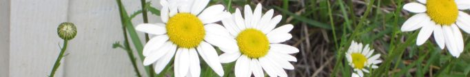 weeds-daisy