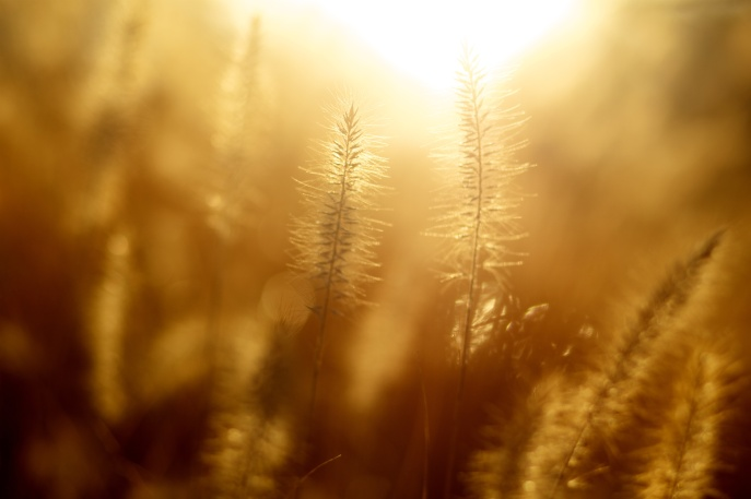 mornings sun on grain heads_pexels-photo
