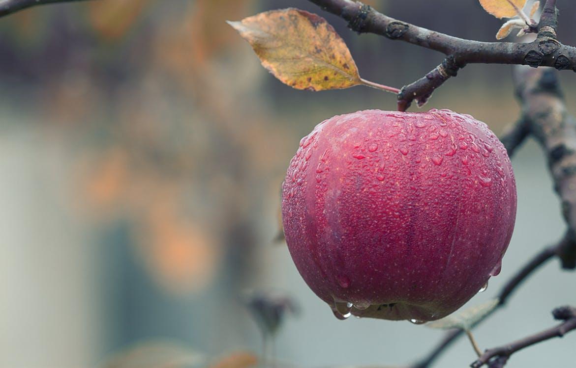 apple on tree-wet_pexels-photo-257840