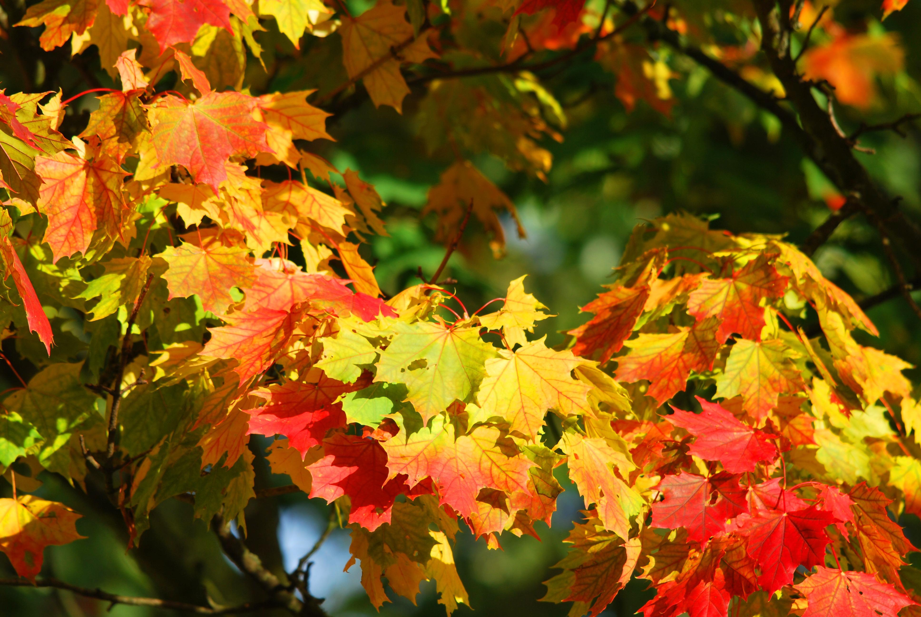 autumn-tree-leaves-red-63614_pexels