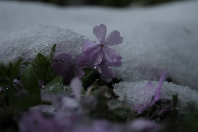 Thrift in Snow_IMG_4513