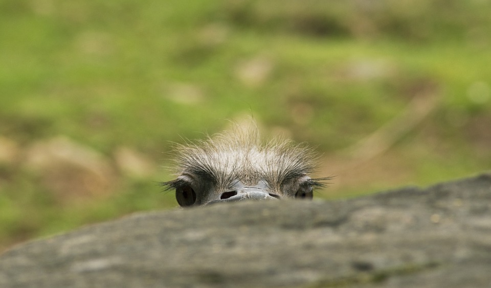 peek eyes ostrich-571457_960_720_pixabay
