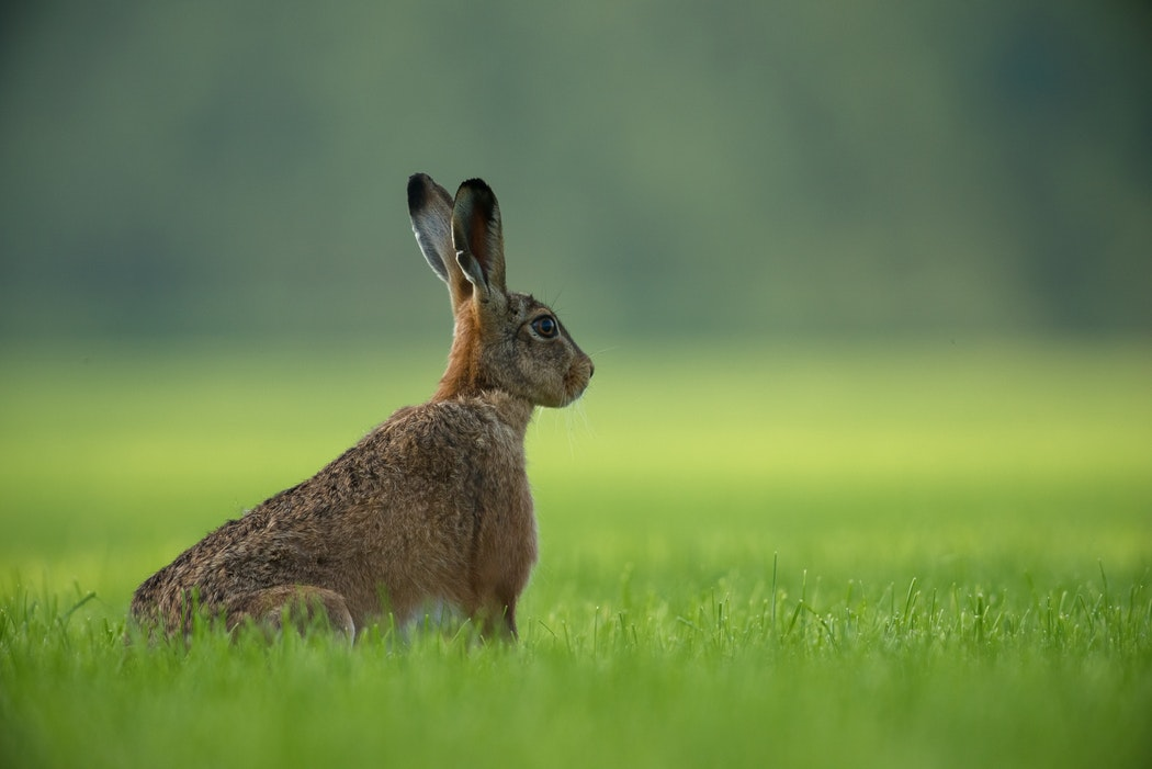 rabbit hare listening_photo Unsplash Vincent van Zalinge