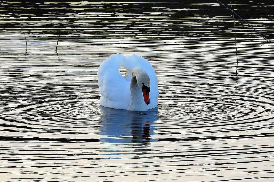 swan reflected water_lake-3277049_960_720_pixabay