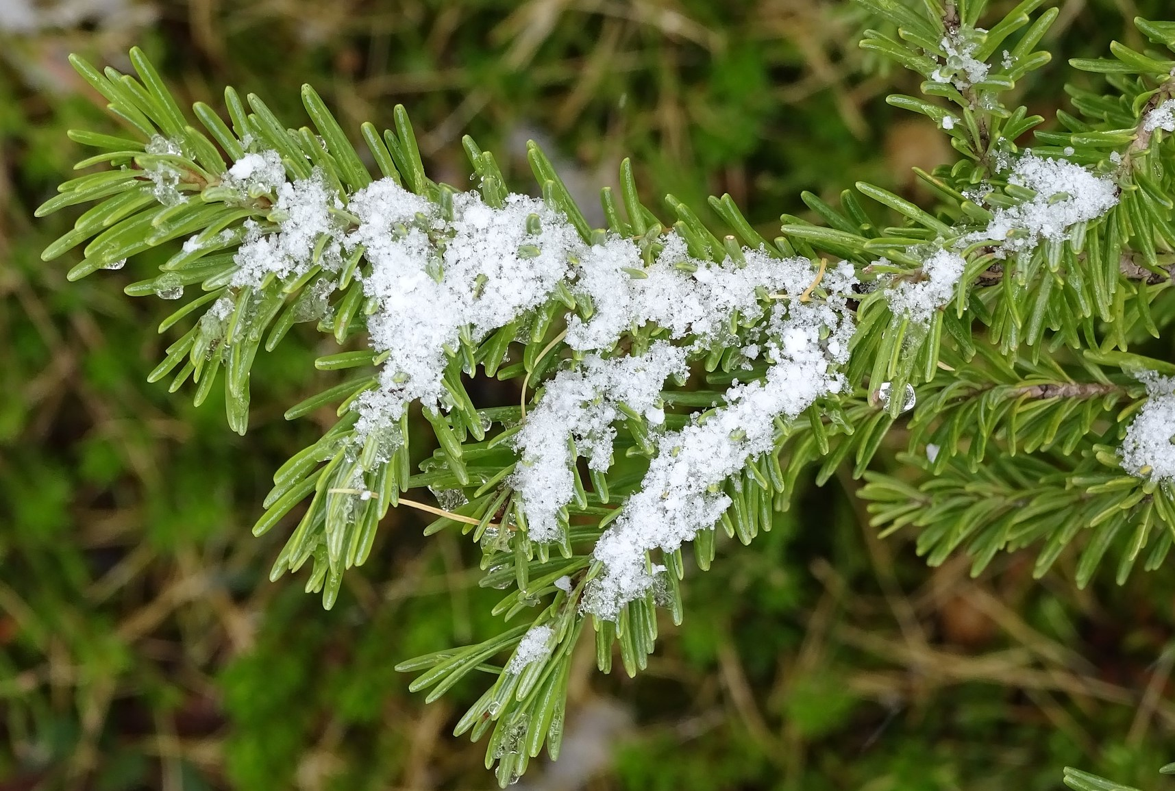 evergreen with snow -1802157_1920_pixabay_cropped
