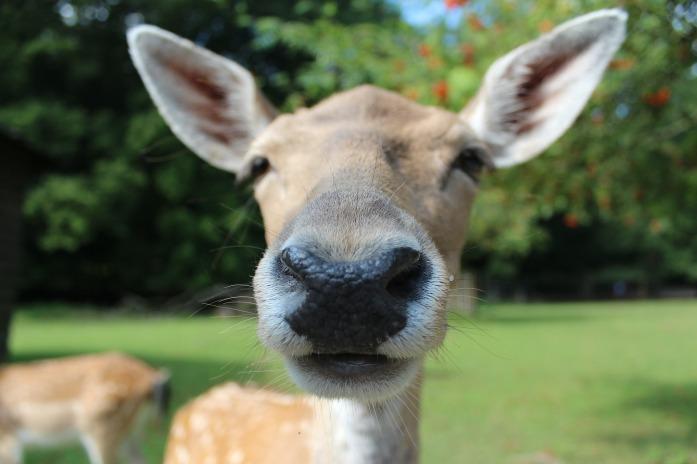 Nose_fallow-deer-602253_1920_pixabay