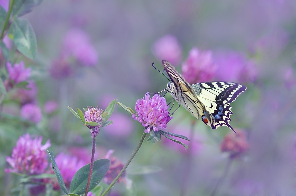 butterfly dovetail on clover-1541704_960_720_pixabay
