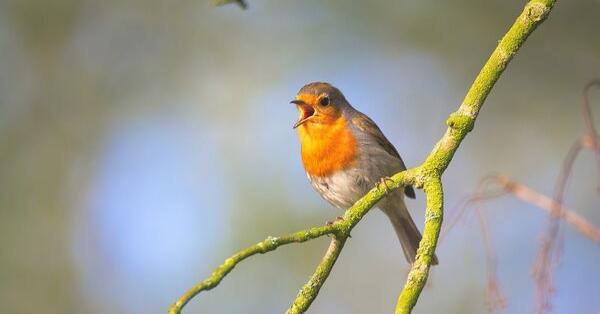 songbird singing_pixabay