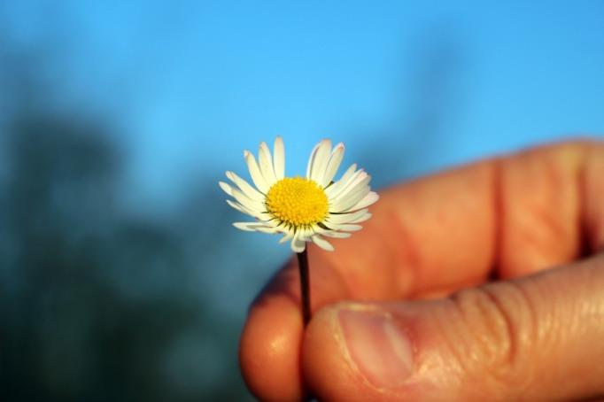 daisy held_Carlotta Silvestrini_Pixabay