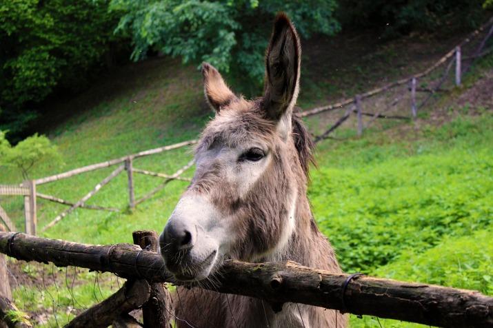 donkey-by Sebastiano Rizzardo_Pixabay