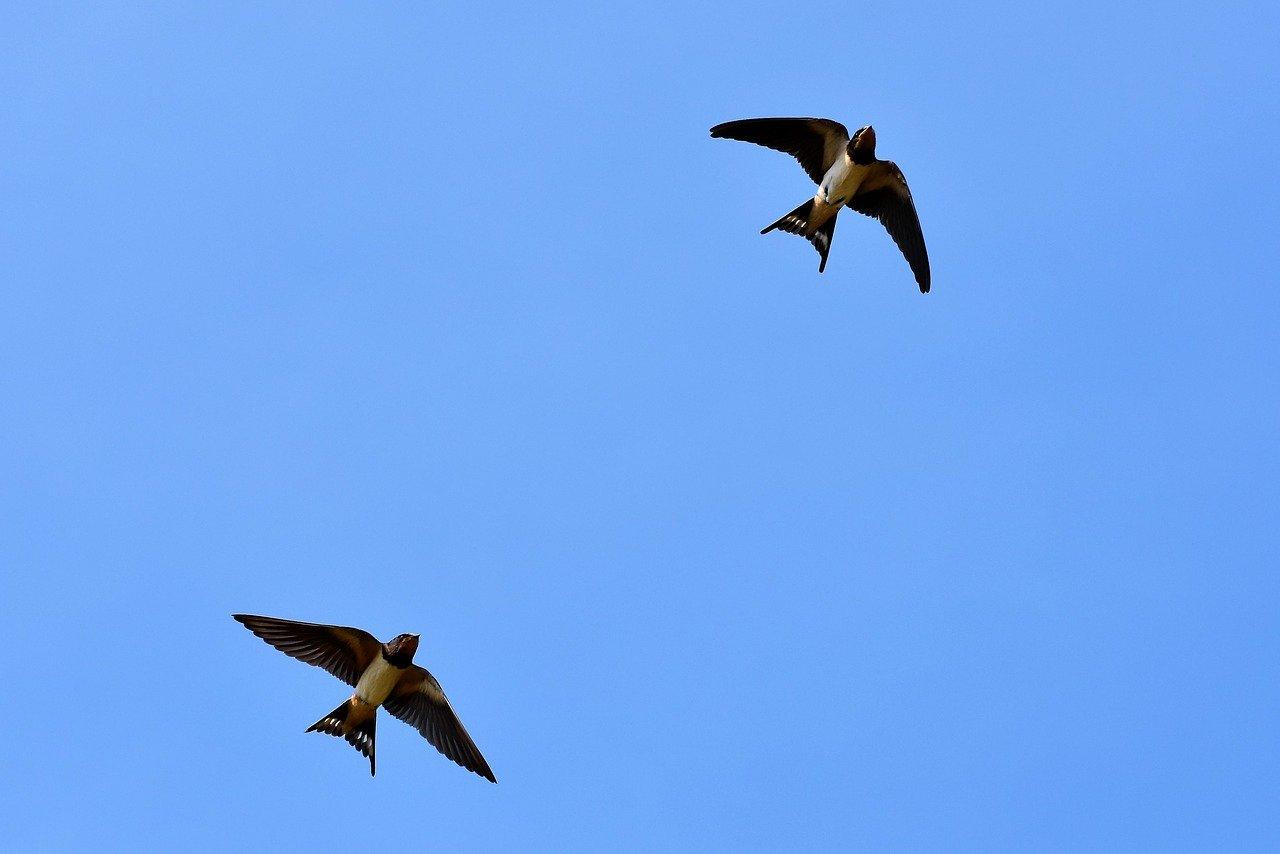 swallows-2 flying_ by Capri23auto_pixabay