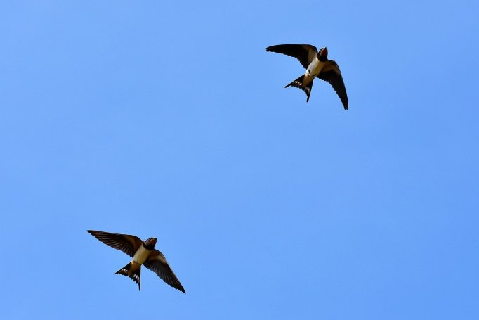 swallows-2 flying_ by Capri23auto_pixabay