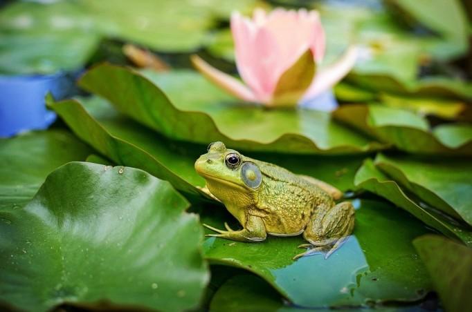 bull-frog-Jill Wellington_Pixabay_cropped