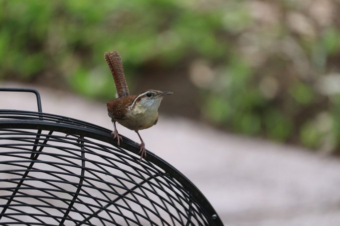 carolina-wren-by GeorgeB2_ Pixabay