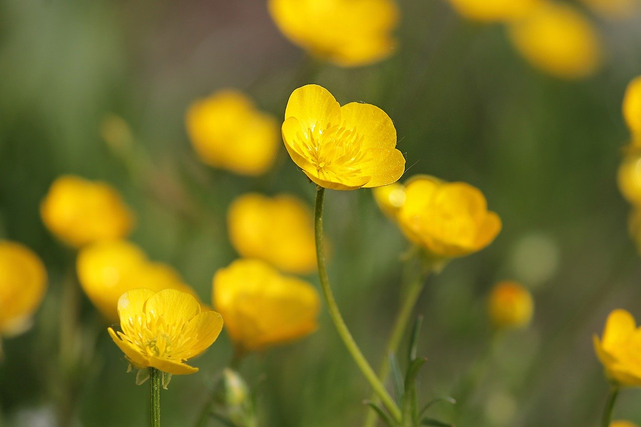 buttercup-by Manfred Richter_Pixabay