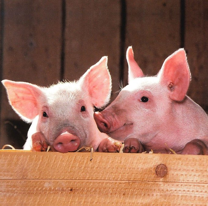 pigs two piglets-by skeeze_Pixabay